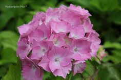 Hydrangea Macrophylla Goliath - In soils of high pH, around 7.0 to 7.5, you'll get the best reds and pinks.
