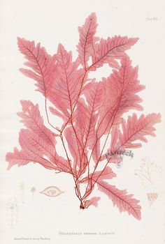 Delesseria from Henry Bradbury Original Nature-Printed Seaweeds 1859