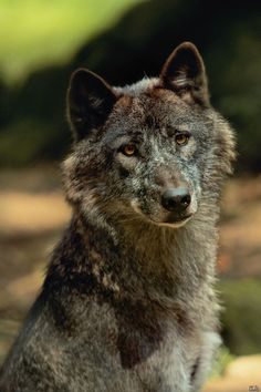 Wolf by ~Khevyel on deviantART Wolf Photos, Wolf Pictures, Wolf Images, Beautiful Creatures, Animals Beautiful, Cute Animals, Wolf Spirit, Spirit Animal, Tier Wolf