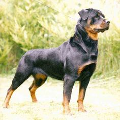 rottweiler, reminds me of our Fat Boy.