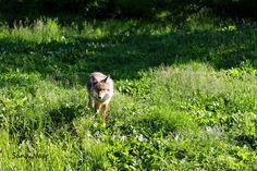 photographie loup