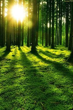 The Morning Sun Reflects Through The Trees Of California