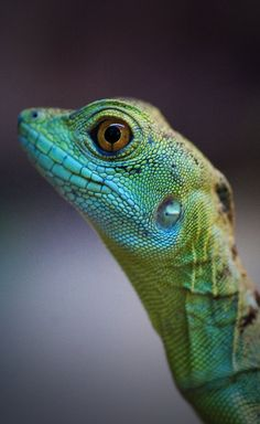 #lizard #reptile profile, protruding face eyes on side, flat, long mouth