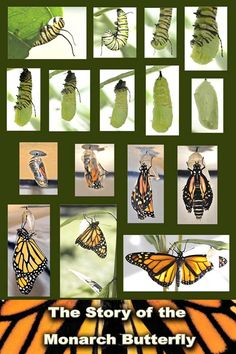 Monarch-butterfly-cycle