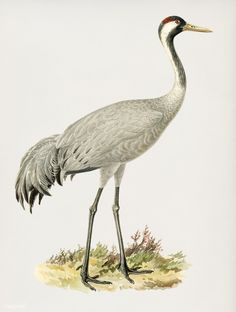 Common Crane (Grus Grus) illustrated by the von Wright brothers. Digitally enhanced from our own 1929 folio version of Svenska Fåglar Efter Naturen Och Pa Sten Ritade.   premium image by rawpixel.com Eurasian Magpie, Eurasian Eagle Owl, Common House Martin, Crane Drawing, Yellow Wagtail, Common Buzzard, White Tailed Eagle, Vintage Bird Illustration, Bird Identification