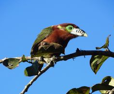 Foto araçari-poca (Selenidera maculirostris) por Márcio Rosa | Wiki Aves - A Enciclopédia das Aves do Brasil