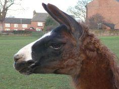 Chloe by Hillview Llamas, Frodsham, UK Llama Alpaca, Alpacas, Chloe, Animals, Animaux, Animal, Animales, Animais