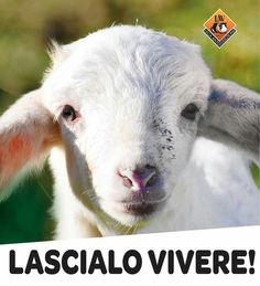 Lega Antivivisezione LAV aiutaci a pasqua  non mangiare agnello