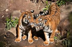 Tiger cubs Christopher & Connor by Bethany Thompson
