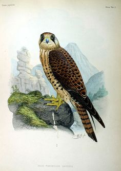 Common Kestrel, from Fauna Japonica, Illustrations of the birds observed in Japan by Dutch travelers, Philipp Franz von Siebold, 1842.