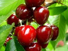 Cherry – Health Benefits and Treating Various Conditions