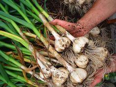 Tudj meg mindent a fokhagymáról te is! Garlic Bulb, Victory Garden, Organic Gardening Tips, Fitness Tips, Carrots, Stuffed Mushrooms, Vegetables, Health, Articles