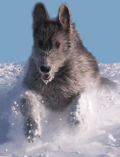 Irish wolfhound...this might be a little scary coming at you. ;)