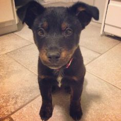 Foster puppy of the week: Waffle, a shepherd mix, is looking for a new home. Contact All Aboard Animal Rescue for adoption details.