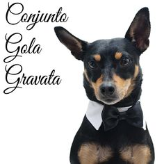 Nero veste conjunto de Gola e Gravata da www.cacaudresspet.com  * Para cães e gatos  #dog #dogs #collar #bow #gravata #moda #fashion #black #white #branco #preto #pinscher #cachorro #gato