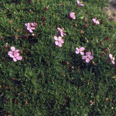SILENE acaulis (Silène) : Florifère, de culture facile en sol ordinaire, caillouteux. Coussins très denses. Petites feuilles vert clair. Jolies fleurs rose vif apparaissant au ras du feuillage.