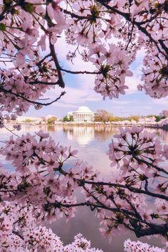 "banshy: "" Spring in Frame // Ivan Wong "" Frühling Wallpaper, Flower Wallpaper, Cherry Blossom Tree, Blossom Trees, Cherry Blossom Wallpaper Iphone, Japanese Cherry Tree, Lotus Art, Beautiful Flowers Wallpapers, Flower Backgrounds"