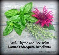 Did you know....a little basil, thyme or bee balm rubbed on your skin helps repel mosquitoes? Some planted in or around your run or tossed into your coop will help keep them away from your flock. For these and more natural pest control ideas visit our blog: http://fresh-eggs-daily.blogspot.com/2012/04/natural-pest-control.html