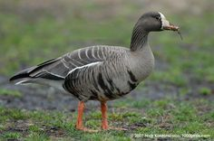 Greater White-fronted Goose - Montana, North Dakota, California