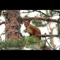 Nøtteliten #ekorn #squirrel #instaanimal #autumn #fall #høst My Photos, Instagram Posts, Animales