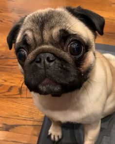 In the event you want a brilliant lover dog, any pug is actually a terrific Cute Pug Puppies, Baby Puppies, Dogs And Puppies, Cute Baby Pugs, Puggle Puppies, Black Pug Puppies, Cute Little Animals, Cute Funny Animals, Pets