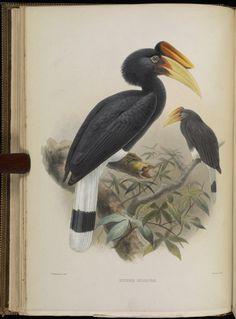 Una monografía de la Bucerotidae, o familiares de los cálaos. - Biodiversity Heritage Library
