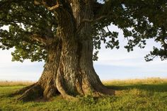 oak-tree-1024x683.jpg (1024×683)