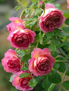 Fragrant rose 'Jubilee Celebration'