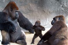 "A baby gorilla seems to be telling her parents ""I wanna be like you hoo hoo"", by beating her chest just like her dad. Alice the tiny gorilla baby stands on her hind legs mimicking her father, while being watched by proud parents JJ and Fredirika. The moment was caught on camera by Ron Magill at Zoo Miami."