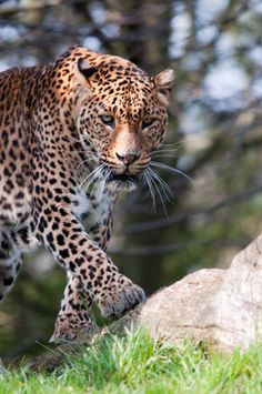 Join our Sri Lanka safari to Yala National Park to seek out the elusive leopard