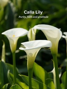 History And Meaning Of Calla Lilies