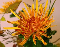 糸菊 Japanese chrysanthemum (admittedly has been hybridised to look like this, but I am counting a plant as natural)