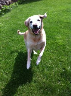 You would never know that he is  years old yellow lab  #animal #yellow