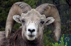Goat Rocky Mountain Bighorn Sheep | Download Rocky Mountain Big Horn Sheep Wallpaper - LoadPaper.com ... Wild North, Big Horn Sheep, Rocky Mountains, Great Photos, Farm Animals, Horns, Hunting, Coloring, Wildlife