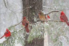 Cardinals (70 pieces)