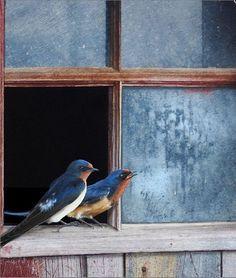 Pretty Birds, Love Birds, Beautiful Birds, Barn Swallow, Country Blue, Rustic Blue, Window Art, Window Sill, Window Ledge