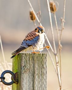 American kestrels never cease to be adorable!