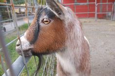 Goats have rectangular pupils. | 22 Facts That Prove The World Is Stranger Than You Think