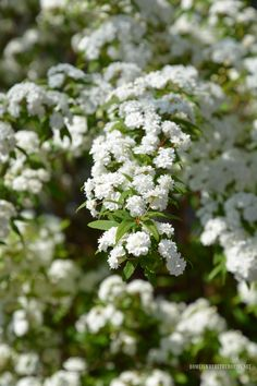 Bridal Wreath Spirea | ©homeiswheretheboatis.net #spring #shrub #lowmaintenace #fastgrowing #garden
