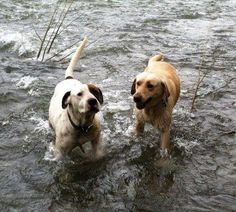 REUNITED on March 25, 2012!   2 DOGS LOST - NECTAR/CLEVELAND, AL area (north of Birmingham, near Co Rd 9 in Hayden):    Last seen around 7:30 am on March 18, 2012 in Nectar/Cleveland, AL area off Joy Road / Fat Dunn Road. Daisy is the yellow lab, wearing a red collar with paw prints. Kyzer is the bulldog/boxer mix, wearing a leather collar and has a brown patch over one eye. These babies are missed dearly.