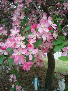 cherry blossom tree in my front yard Cherry Blossom Tree, Blossom Trees, Yard, Nature, Plants, Patio, Naturaleza, Blooming Trees, Yards