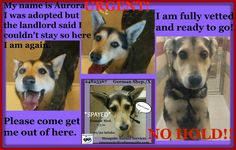 "Shelter Animals of Garland, Mesquite, Rowlett, Royse City & Surroundings  **CODE RED!!! NEED ADOPTION INTEREST / RESCUE TAG EMAILED TO THE SHELTER BEFORE 7AM, MONDAY, 03/02!!! **  *URGENT*NO HOLD*OWNER SURRENDER* 24825367 German Shepherd/X *SPAYED*Female Medium Black/Cream intake-02/20**ADOPTION RETURN~COULD NOT KEEP** ""Aurora"" 1 year old"