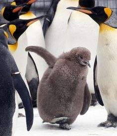 Spoiler Alert: plot elements from the film Happy Feet revealed below!'s Edinburgh Zoo are celebrating the arrival of a King Penguin chick. The chick, which is almost two months old, is the first King Penguin. King Penguin, Penguin Love, Penguin Baby, Penguin Parade, King Pic, Penguin Pictures, Snowy Weather, Baby Penguins, Happy Fun