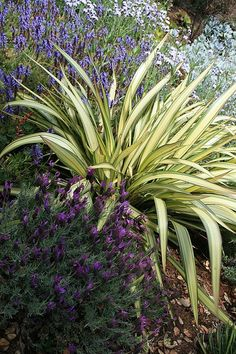 Phormium 'Cream Delight' - clean cream color accent behind pool water feature, with low height to not block movie screen area Tropical Landscaping, Mediterranean Plants, Pool Landscaping, Plants, Garden Shrubs, Landscaping With Rocks, Trees To Plant, Low Water Landscaping, Landscaping Plants