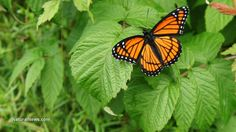Monarch butterfly decline being caused by GMO agriculture. PLEASE BE CONCERNED ABOUT THIS--IT'S NOT JUST THE MONARCHS! http://www.naturalnews.com/045630_monarch_butterflies_GMO_agriculture_milkweed.html
