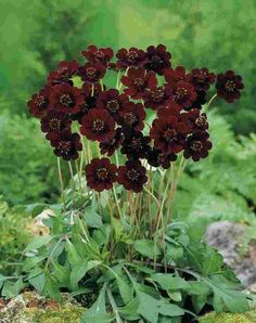 Cosmos atrosanguineus (Chocolate Cosmos) fragrance of dark chocolate. Sun. Zones 8-9.