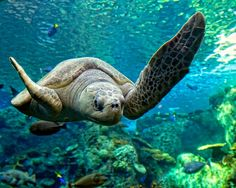 "Sea Turtle: ""Waving His Flipper ~ To Greet You All!"""