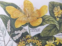 Botanical Drawings - vintage botanical flower illustrations - old botanical prints of yellow flowers - spring flowers