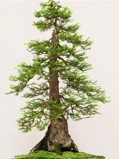 My name is Jonas Dupuich and I like long walks on the beach and writing about bonsai at Bonsai Tonight. Giant Sequoia Trees, Giant Tree, Bonsai Art, Bonsai Garden, Bonsai Trees, Redwood Bonsai, Sequoiadendron Giganteum, Sequoia Sempervirens, Wire Trees