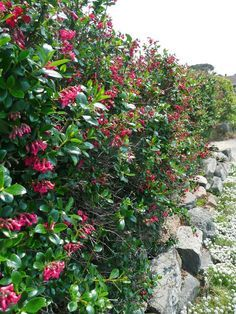 Escallonia hedge - will not get as tall as other hedging plants. Hedging Plants, Garden Shrubs, Landscaping Plants, Seaside Garden, Coastal Gardens, Fast Growing Evergreens, Landscape Design Plans, English Country Gardens, Gardens